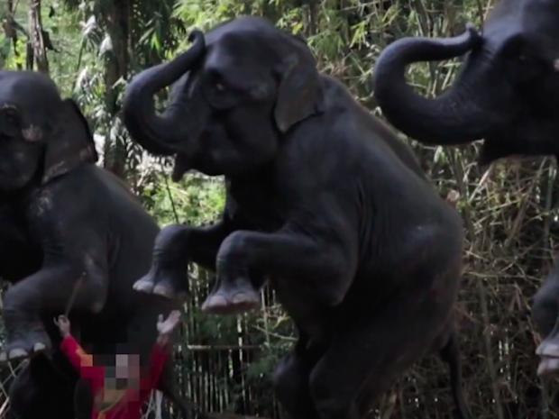 24 bd Olifanten moeten kunstjes doen voor mensen