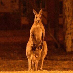 Bijna een half miljard dieren overleden door branden Australië