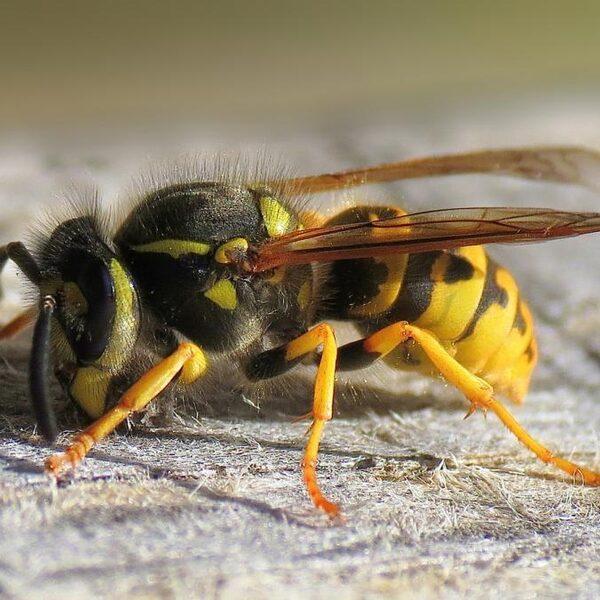 Wespen komen er weer aan: kijk uit voor deze soorten!