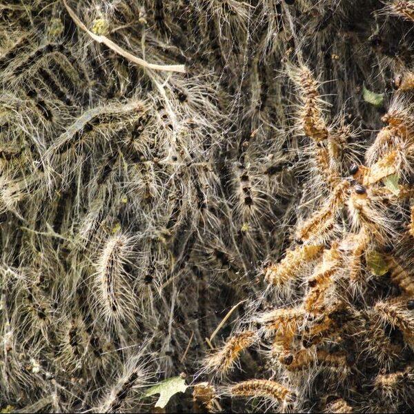 Minder wegzuigen, andere bomen, meer natuurlijke vijanden: de strijd tegen de eikenprocessierups