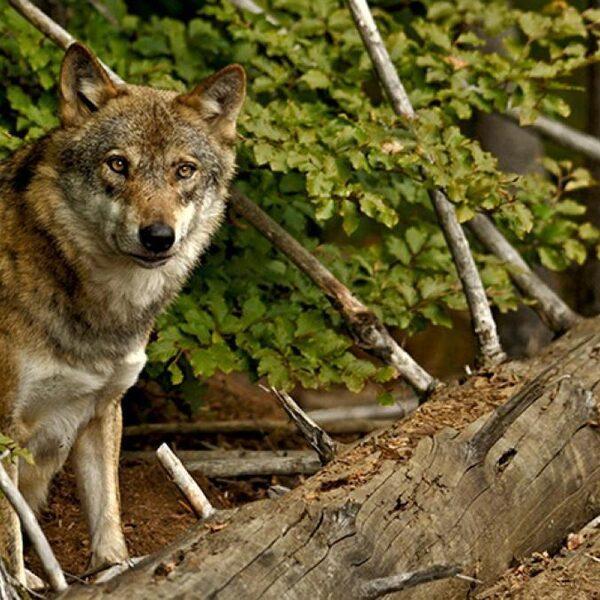 Wolf in Nederland: liever kwijt dan rijk?