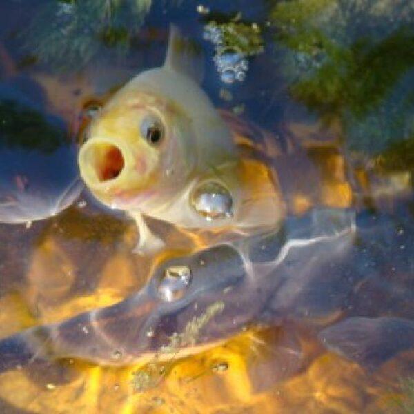 Onschuldige goudvis verstoort natuurlijk evenwicht