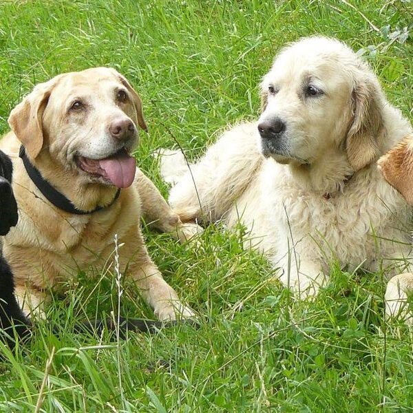Grote groepen honden niet meer welkom in Goois Natuurreservaat