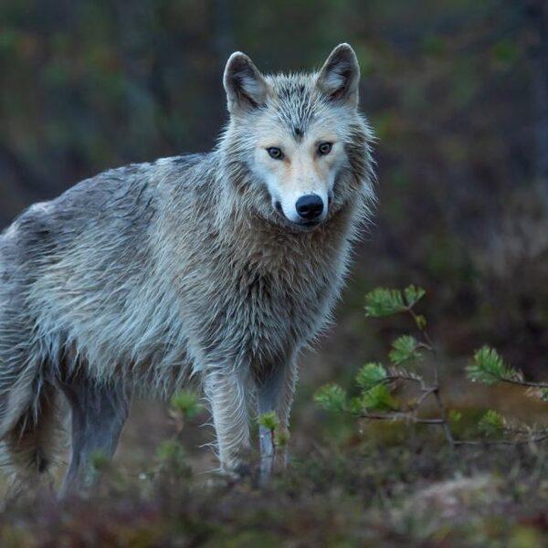 Waarom zijn we bang voor de Nederlandse wolf?