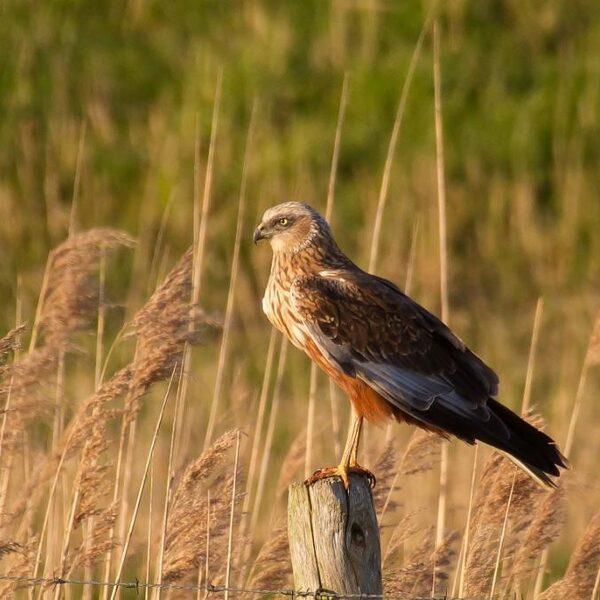 Gaat ultieme poging om weidevogels te beschermen te ver?