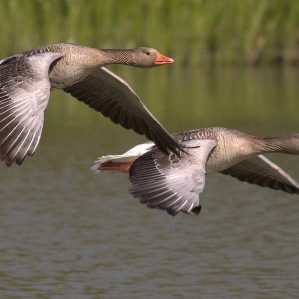 Vogels vallen dood uit de lucht: 5 vragen over de vogelgriep