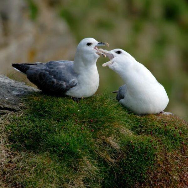 Maag Noordse stormvogel minder vol met plastic