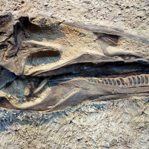 Paleontoloog Anne Schulp werkte mee aan ontdekking nieuwe dinosauriër