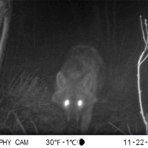 Gaat goudjakhals zich na de wolf ook vestigen in Nederland?