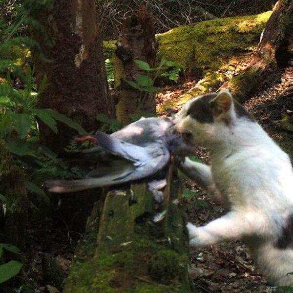 Katten jagen er 's nachts op los en het aantal slachtoffers is zorgwekkend
