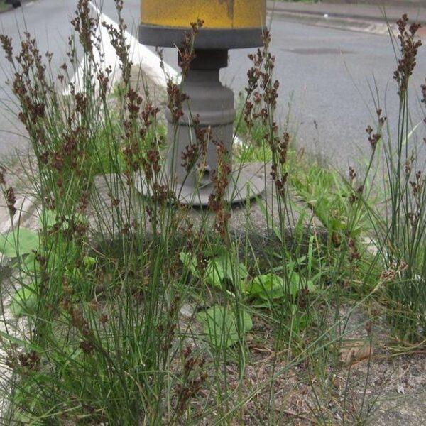 Deze planten profiteren juist van strooizout