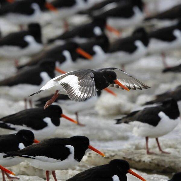 Broedende strandvogels verstoord door loslopende honden, baasjes worden aangesproken