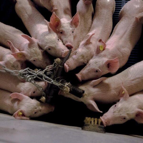 Podcast De Dag: is het écht zo moeilijk om varkens een beter leven te geven?