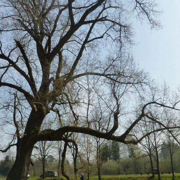 Onze laatste wilde bomen dreigen te verdwijnen en hierom is dat erg
