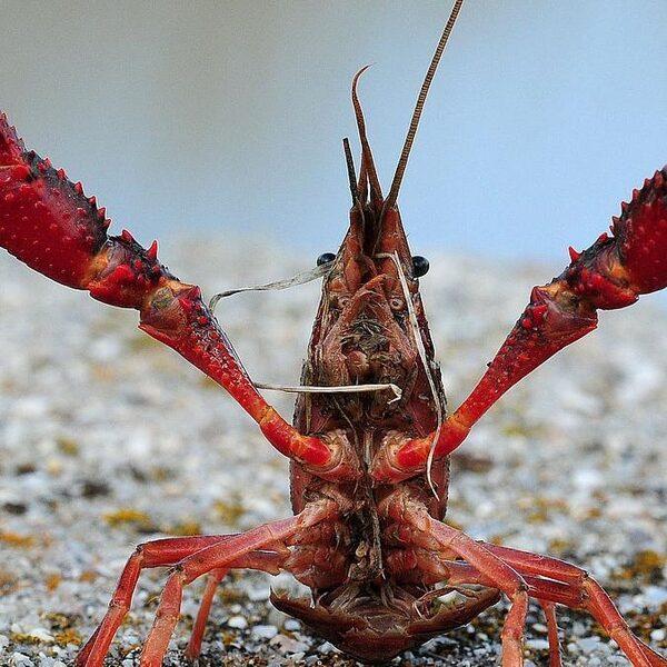 Amerikaanse rivierkreeft wegvissen is enige optie