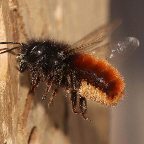Zonder insecten, geen fruit: het belang van de metselbij