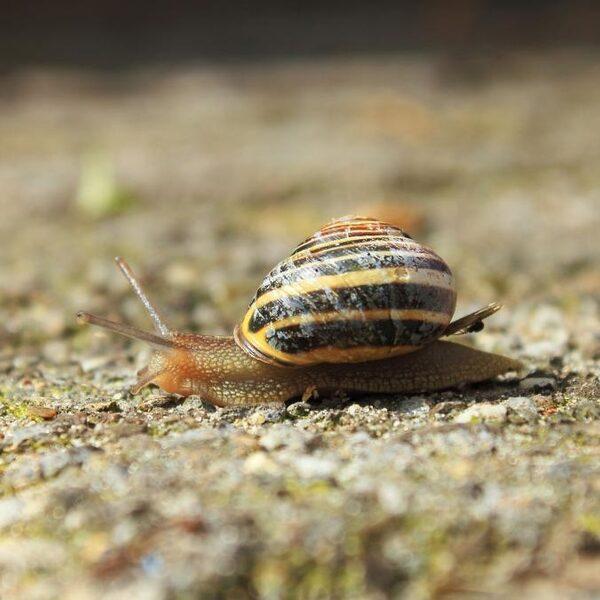 Waarom hebben sommige slakken een huisje?