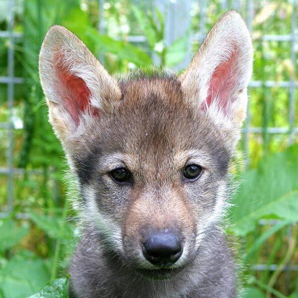 Dit kleine wolfje haalt graag even een bal voor je op