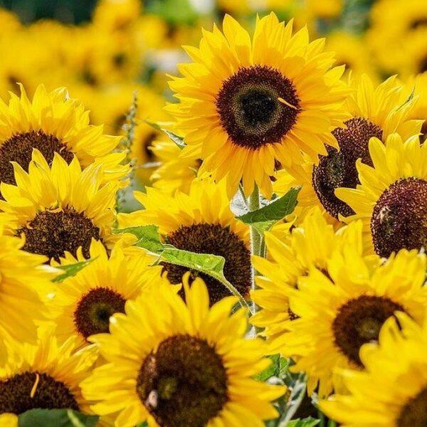 Geurtraining voor bijen verhoogt productie van gewassen