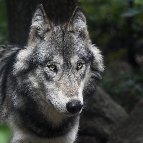 Friesland wil geen wolf