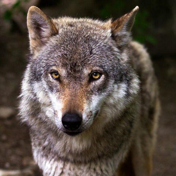 'Het is een illusie dat we moeiteloos kunnen samenleven met de wolf'