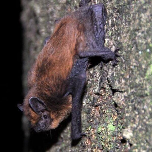 Zware metalen bedreigen vleermuizen