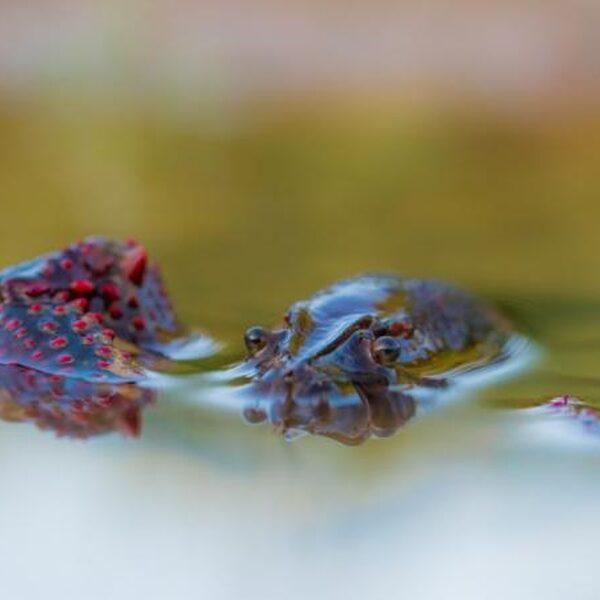 Wat te doen met die invasie van rivierkreeften