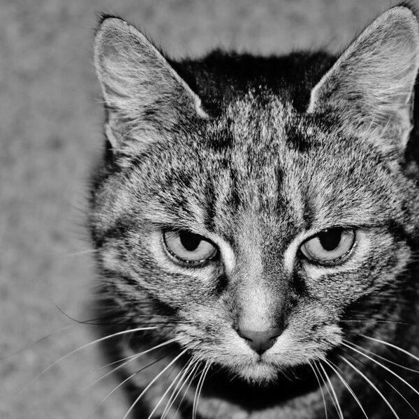 Ziekteverspreidende katten kosten Australische economie elk jaar miljarden