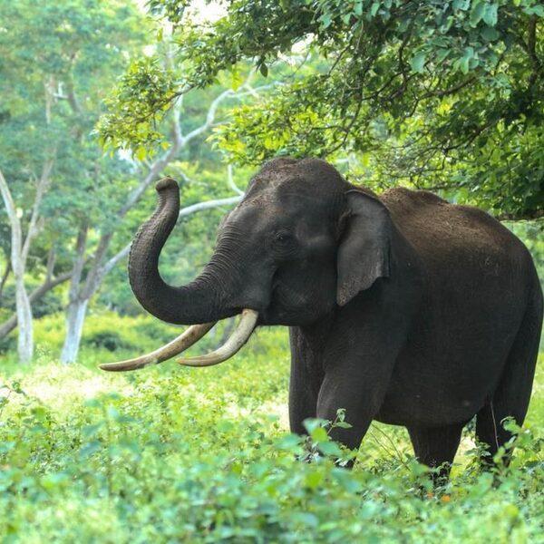 Hoe olifanten zichzelf tegen kanker beschermen
