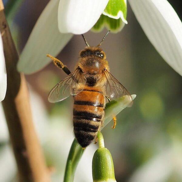 Honingbijen concureren met wilde bijen