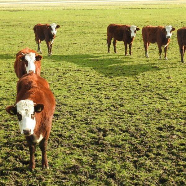Deze koe redt de landbouw op zompige grond