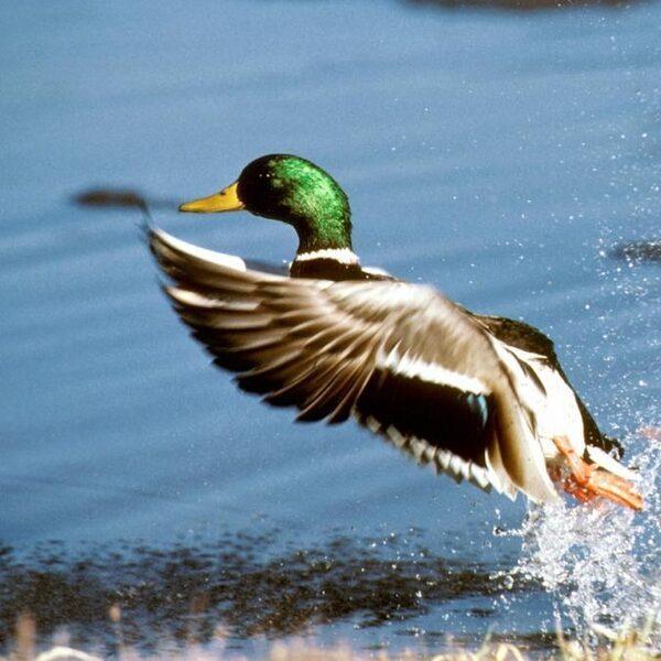 Vissen kunnen migreren via vogels