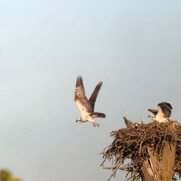 Visarenden in Biesbosch gevoelig voor verstoring