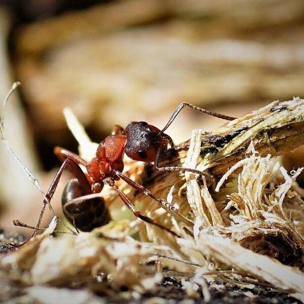 Alle 62 mierensoorten die in Nederland voorkomen bijten
