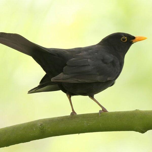 Nationale tuinvogeltelling: de terugkeer van de merel?