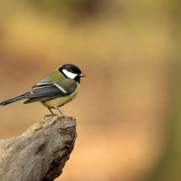 Strijd tegen eikenprocessierups: helpen nestkasten?