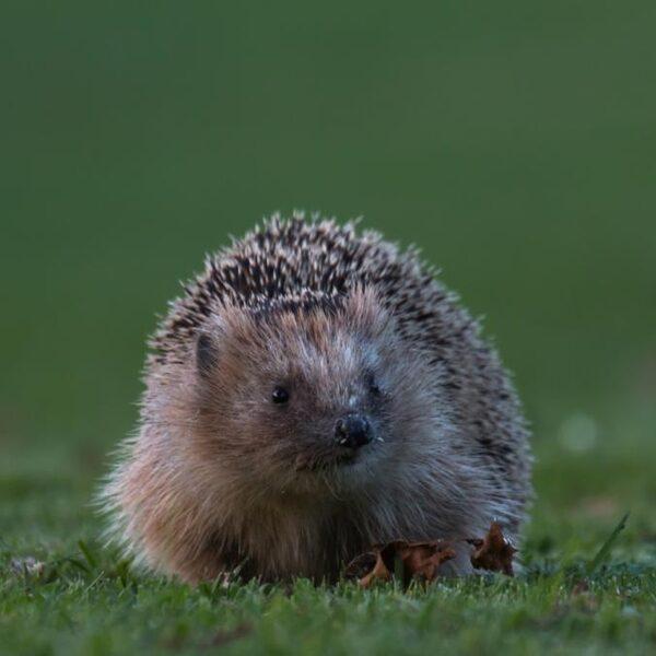 Populatie egels in Nederland daalt: zenderen voor onderzoek