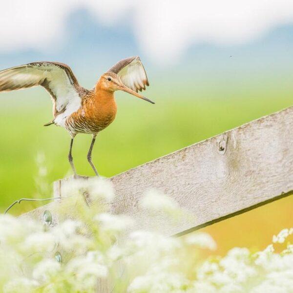 'Aanvalsplan Grutto' moet weidevogels redden van teloorgang