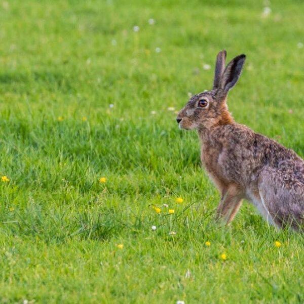 Eind van jacht op konijn en haas als het aan Kamermeerderheid ligt