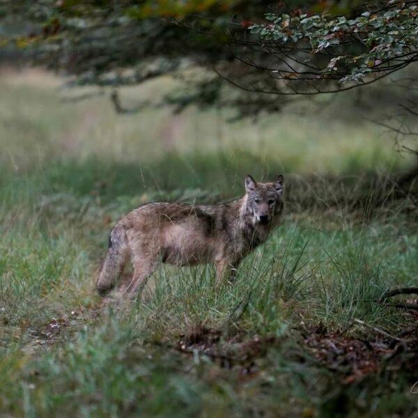Aannemelijk dat verstoring door mensen ten grondslag ligt aan dood Veluwse wolvin