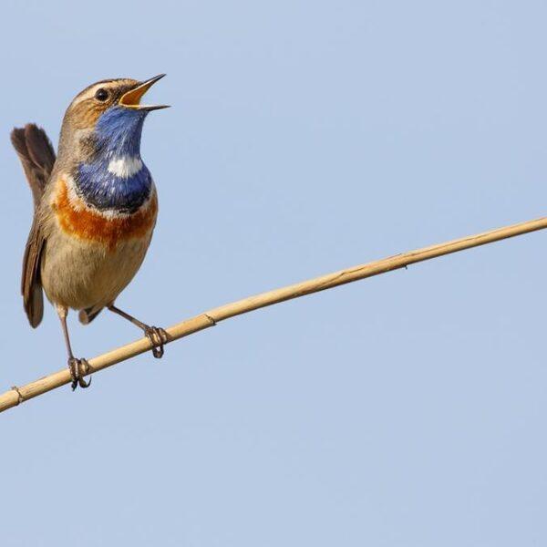 Vroege Vogels presenteert: het nationale vogelconcert