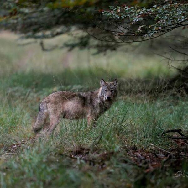 Waarom is de wolf belangrijk voor de Nederlandse natuur?