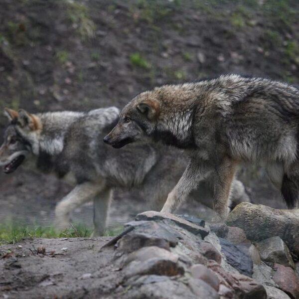 Stand.nl: Nederland is te klein voor de wolf