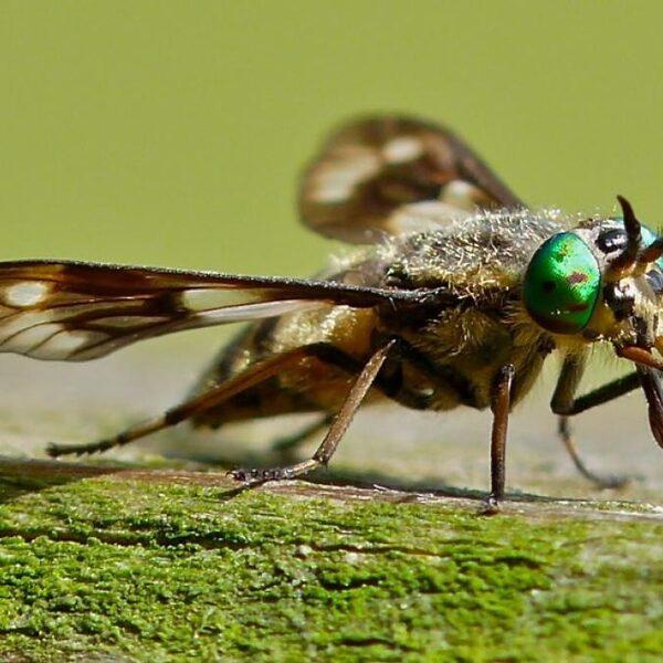 De steek van de daas: een muggenbult is er niks bij
