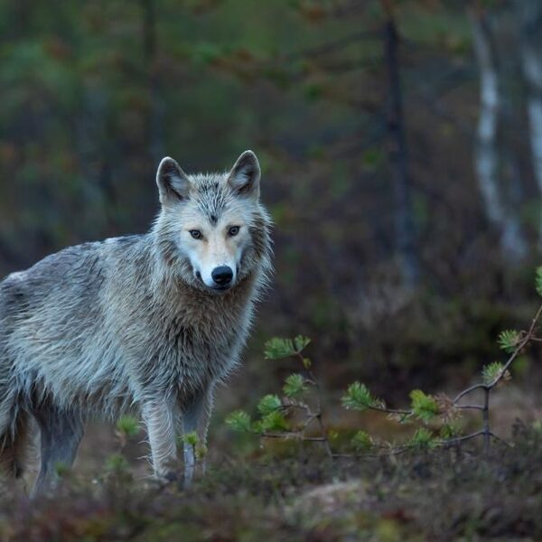 Wel of geen wolf in Nederland? 'In Brabant zijn ze onvoorbereid'