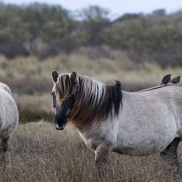 'Paardenvlees konikpaarden uit de Oostvaardersplassen is een gewild stukje vlees'