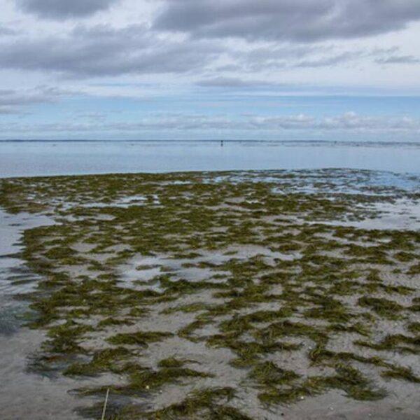 Doorbraak in Waddenzee: verdwenen zeegras verspreidt zich weer