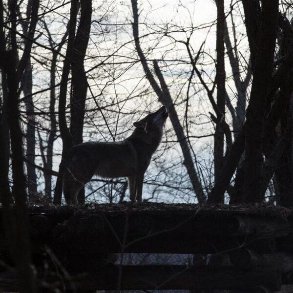 Podcast De Dag: De wolf is een blijvertje