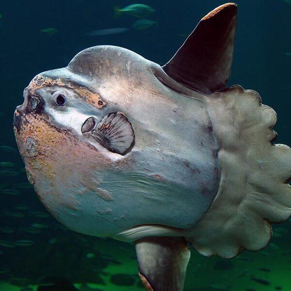 Zwaarste beenvis ter wereld verdwaald bij Texel