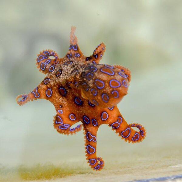 Octopussen zijn hartstikke slim: zo is dat ontstaan